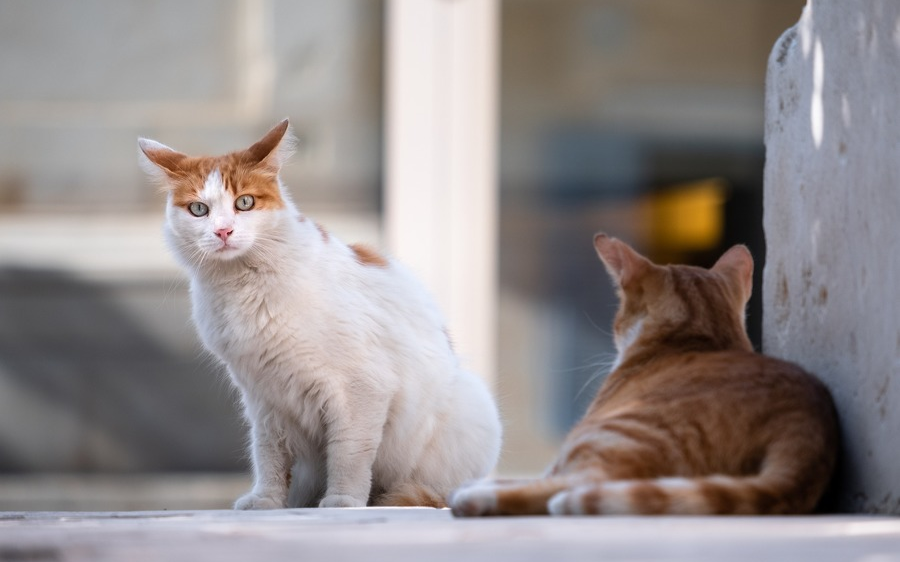 Streunerkatzenkastrationsaktion 2021 - jetzt melden!